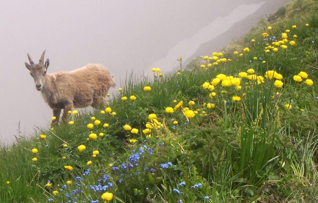 jeune bouquetin sur la crête au-dessus du lac de Peyre