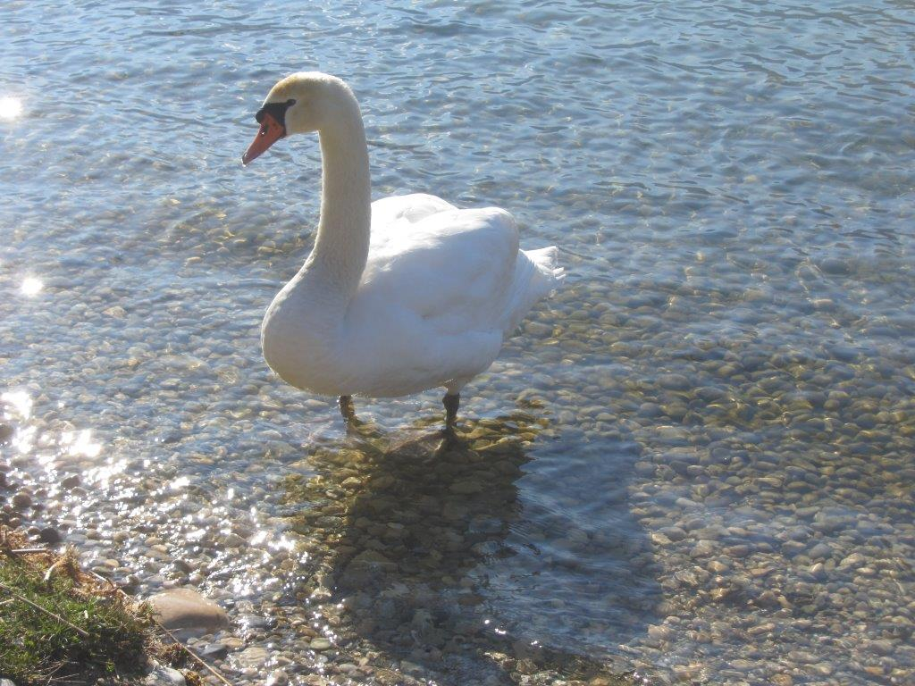 cygne sur le lac du Bourget