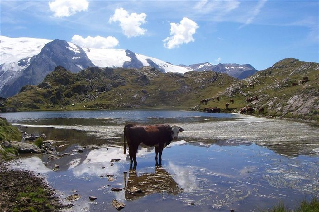 vache sur le lac Lerié (plateau des Emparis)