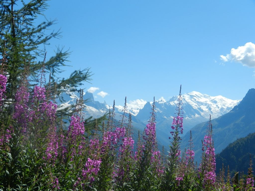 épilobes et Mont Blanc en fond