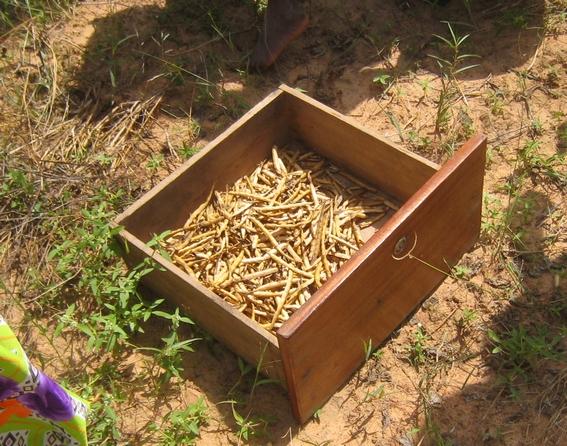 Récolte des haricots niébé pour l'école
