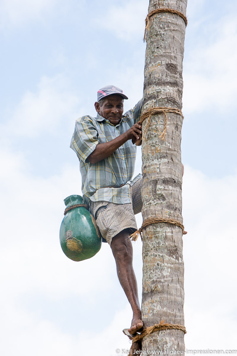 Palmsafternte