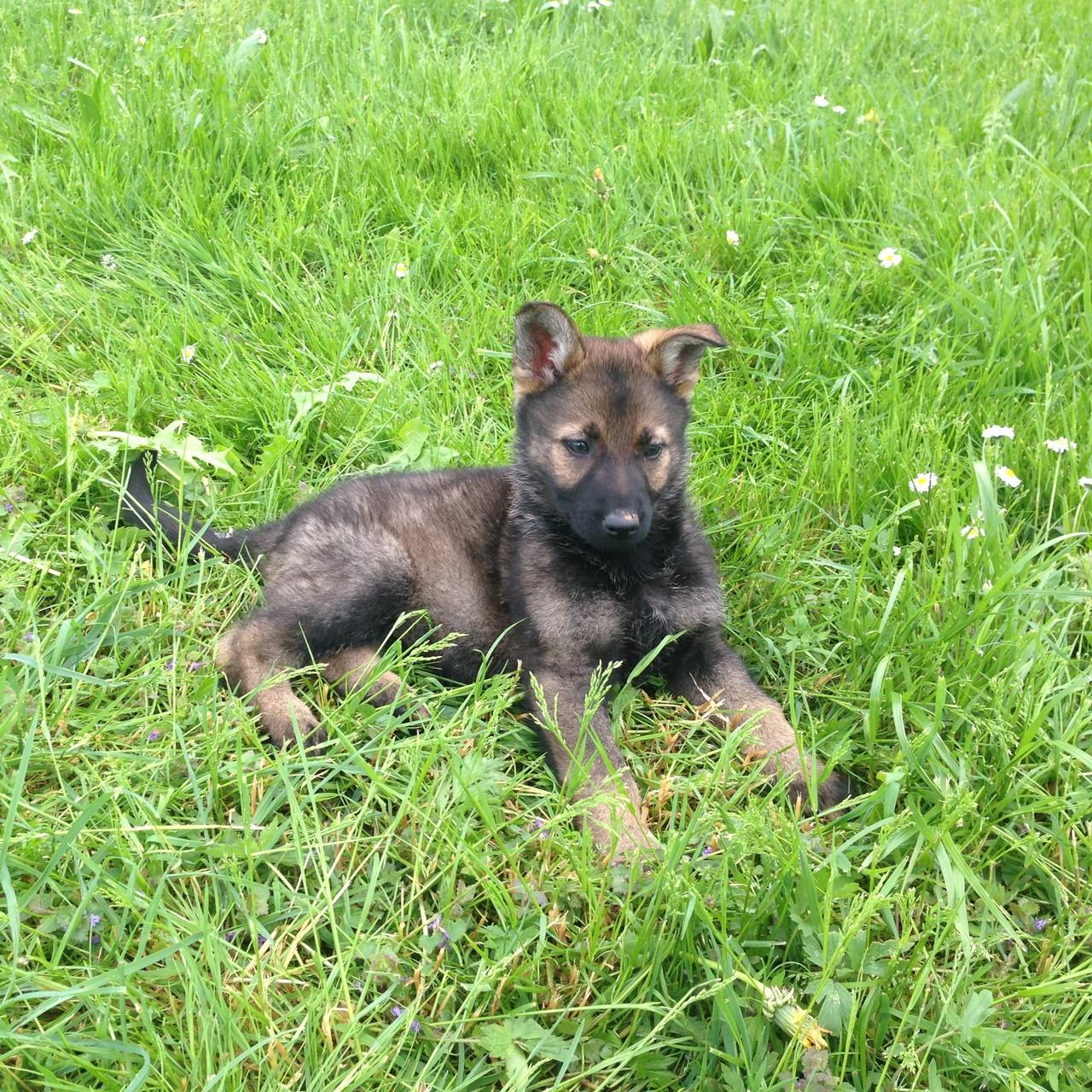 S-Wurf 8 Wochen alt.