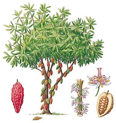cacao tree plant botanical drawings cacao mama berlin