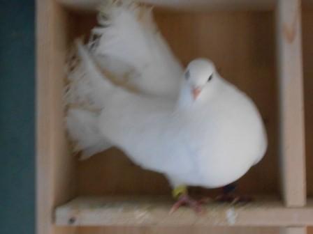 Pfattäubin in weiß