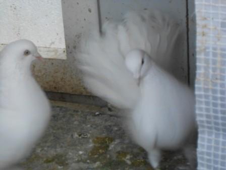 Pfattäuber in weiß