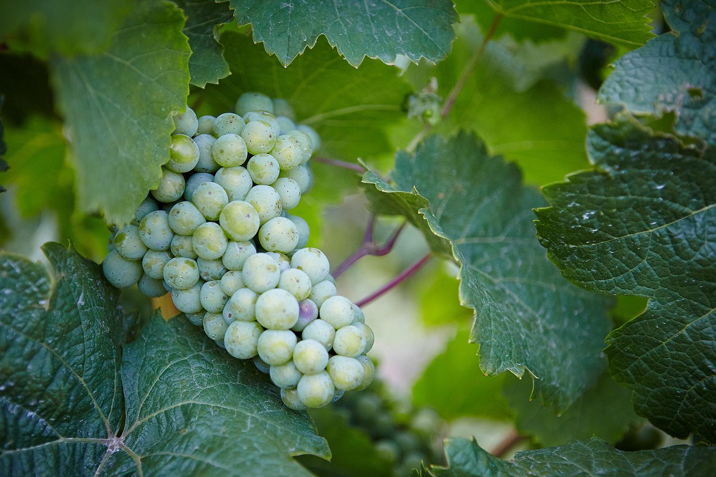 Das Santa Ynez Valley ist neben dem Napa Valley das bekannteste Weinanbaugebiet Kaliforniens.