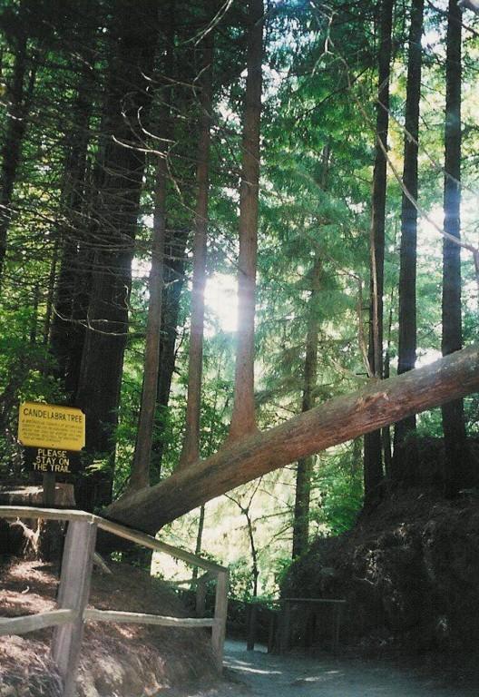 """In """"der unsichtbare Gegner"""" besuchen die drei ??? und Mr Peck den Redwood National Park..."""
