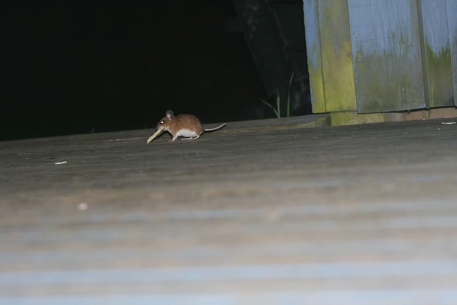 diese kleine Maus kam abends...