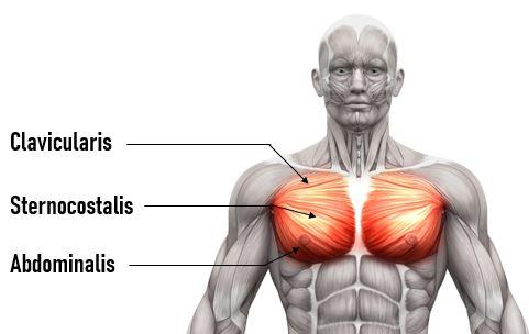 chest anatomy pectoralis major