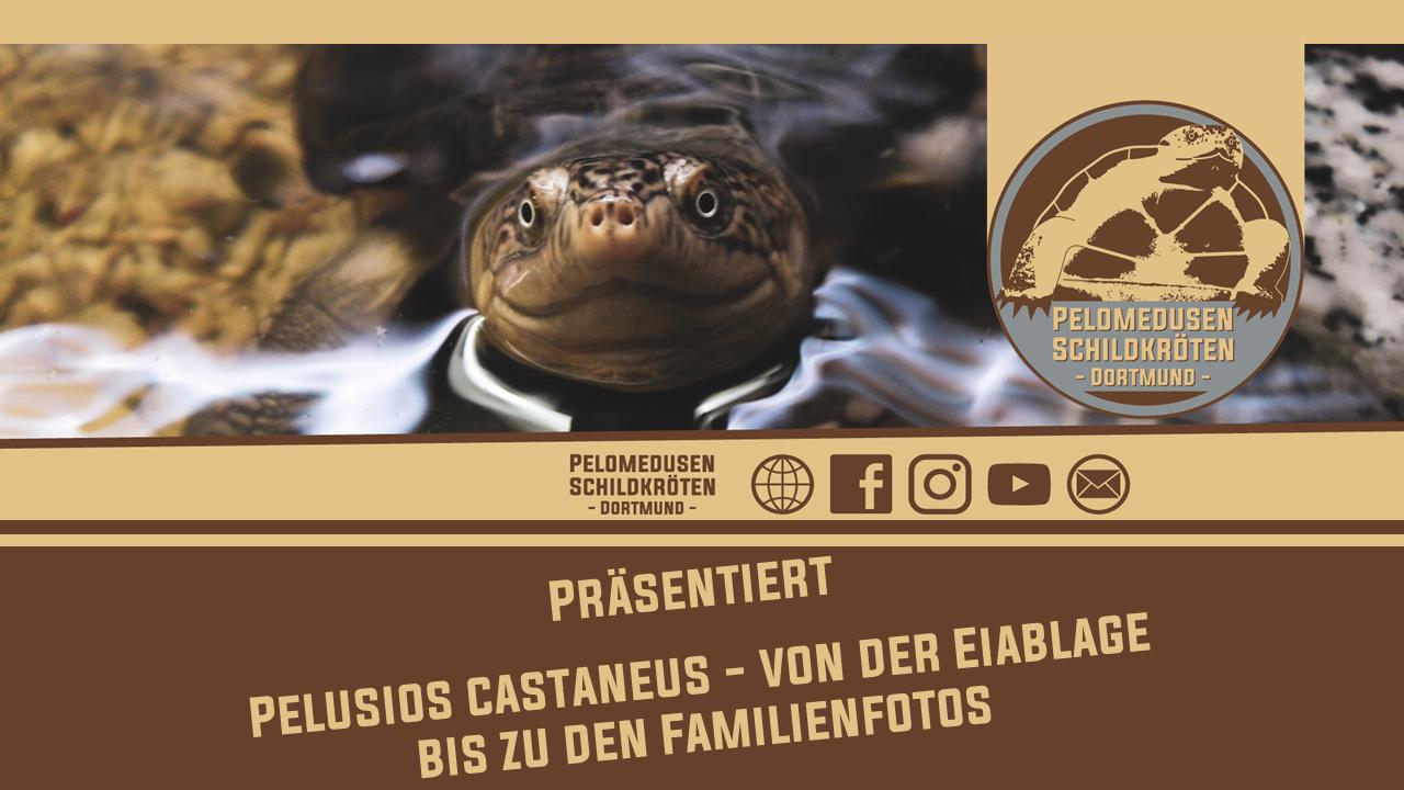 Pelusios castaneus - Von der Eiablage bis zu den Familienfotos