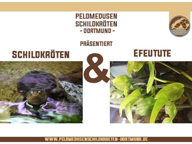 Schildkröten & Efeutute