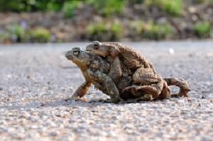 Krötenpärchen auf dem Weg