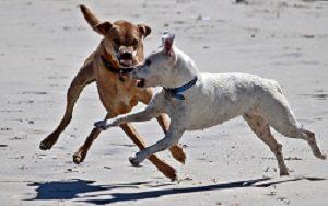 Zwei Hunde am Strand wirken etwas bissig