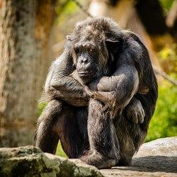 thronender Schimpanse