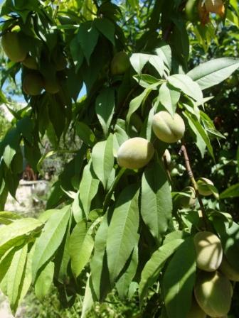 Ещё зелёные абрикосы