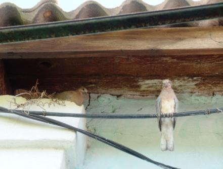 горлицы, гнездо