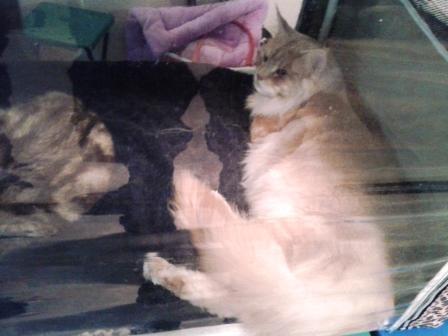 Кошка - великан. Мейн-кун