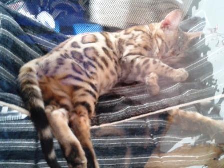 Леопардик в гамаке