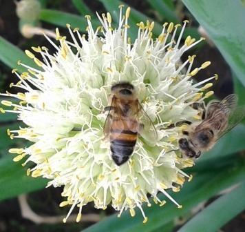 Пчёлы - на луковый нектар