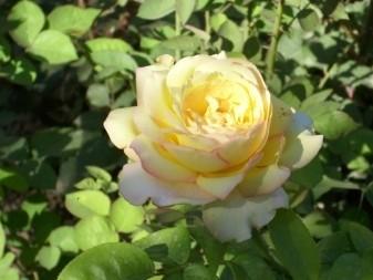 Великолепный экземпляр из розария бабушки