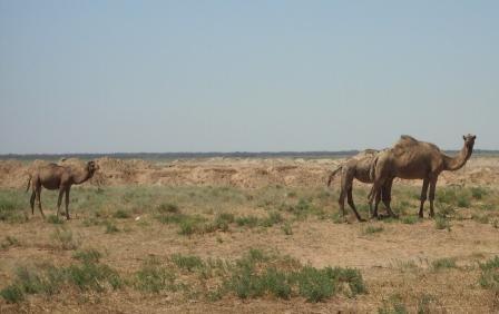 Знакомство с верблюдами