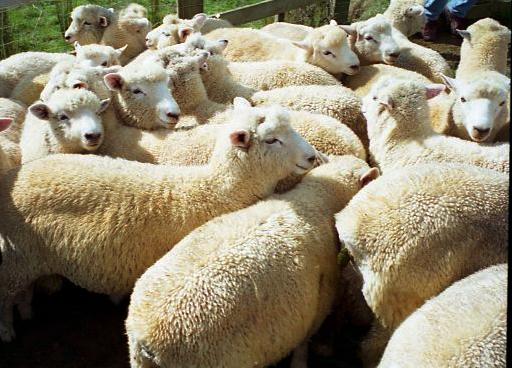 die Schafe nach dem monatlichen Impf-Durchgang