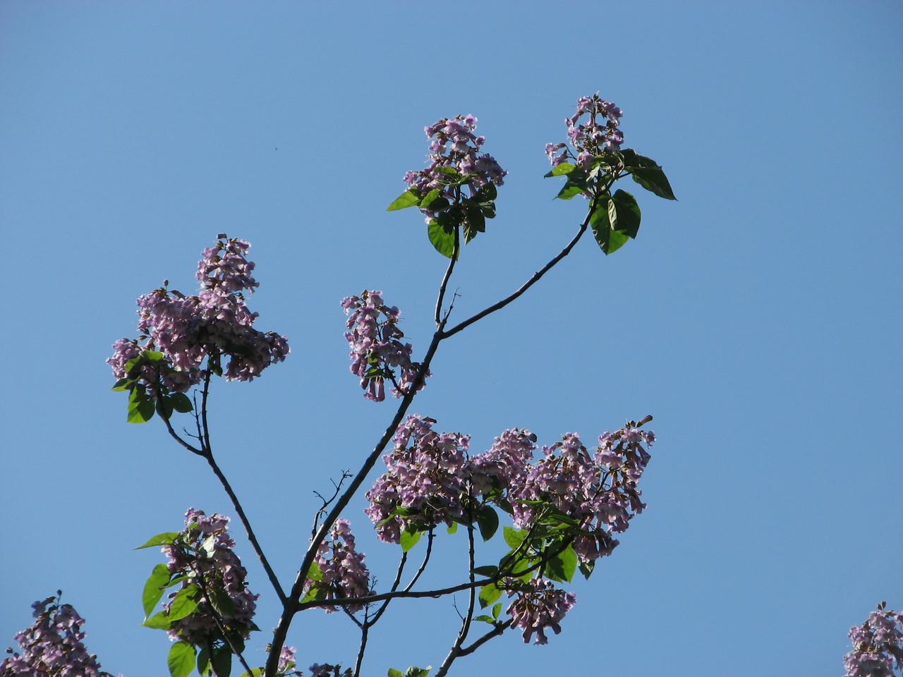 キリ(ノウゼンカズラ科) Paulownia tomentosa