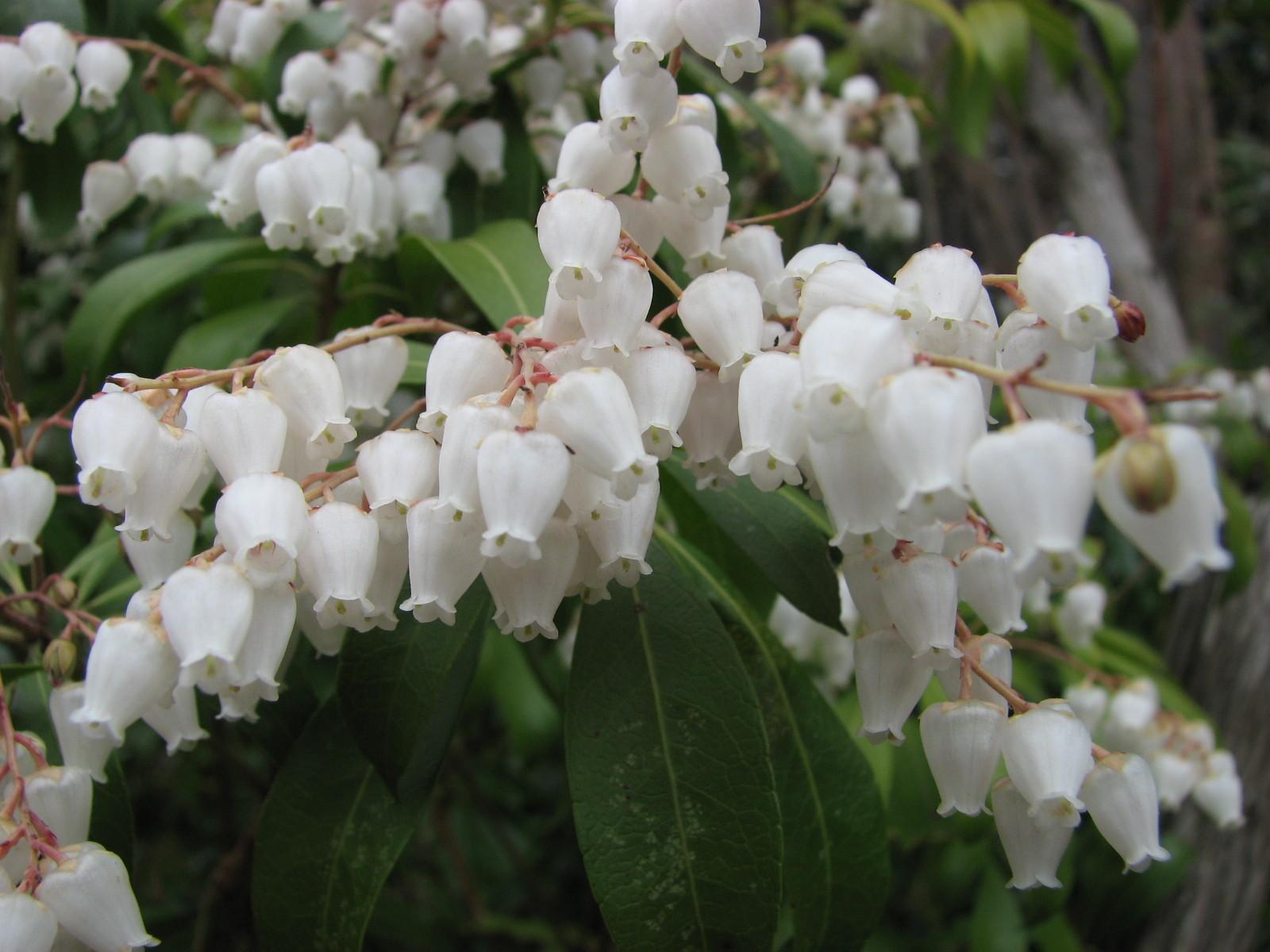 アセビ(ツツジ科) Pieris japonica