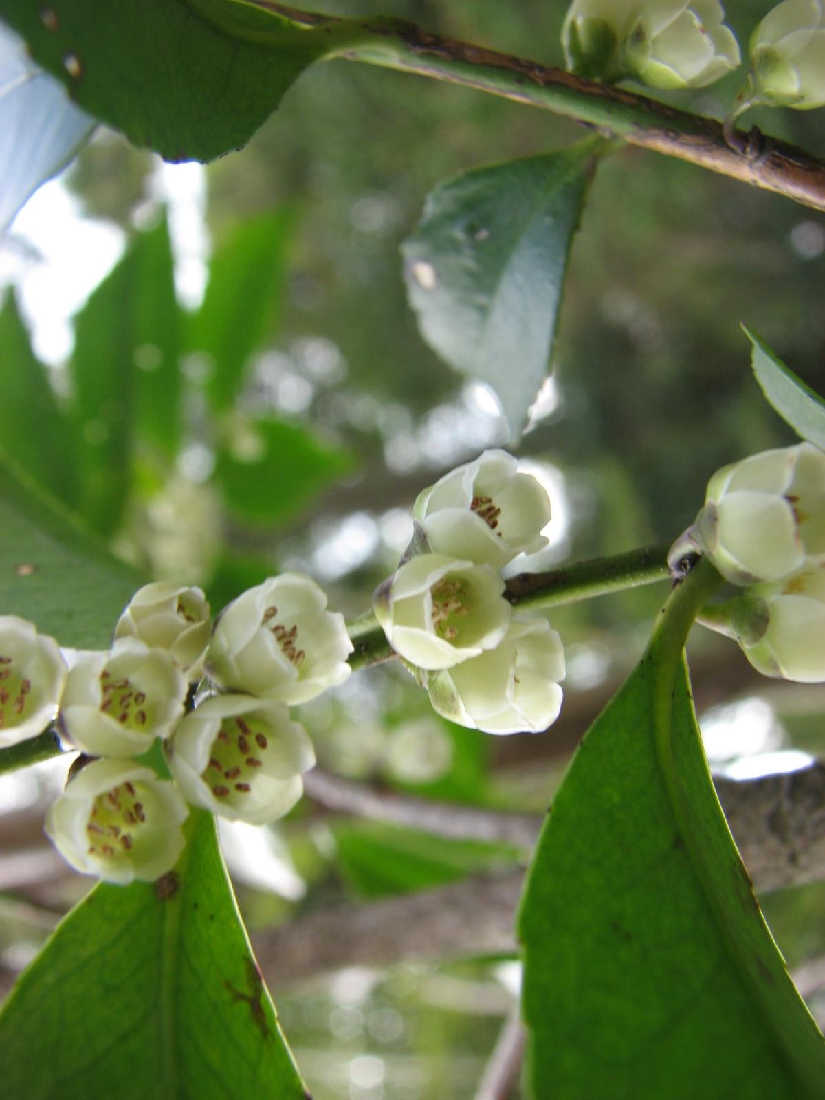 ヒサカキ(ツバキ科) Eurya japonica