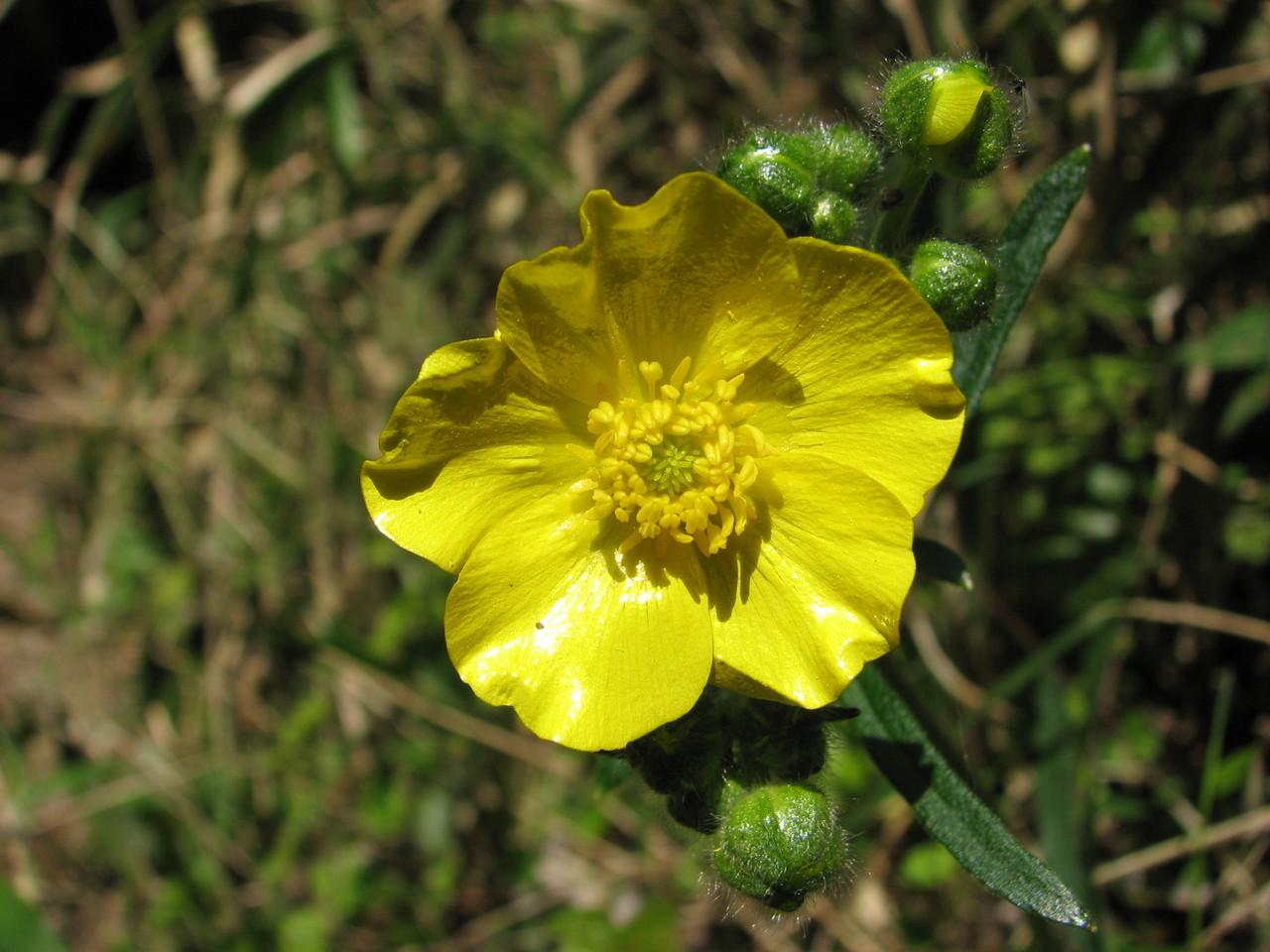 ウマノアシガタ(キンポウゲ科) Ranunculus japonicus