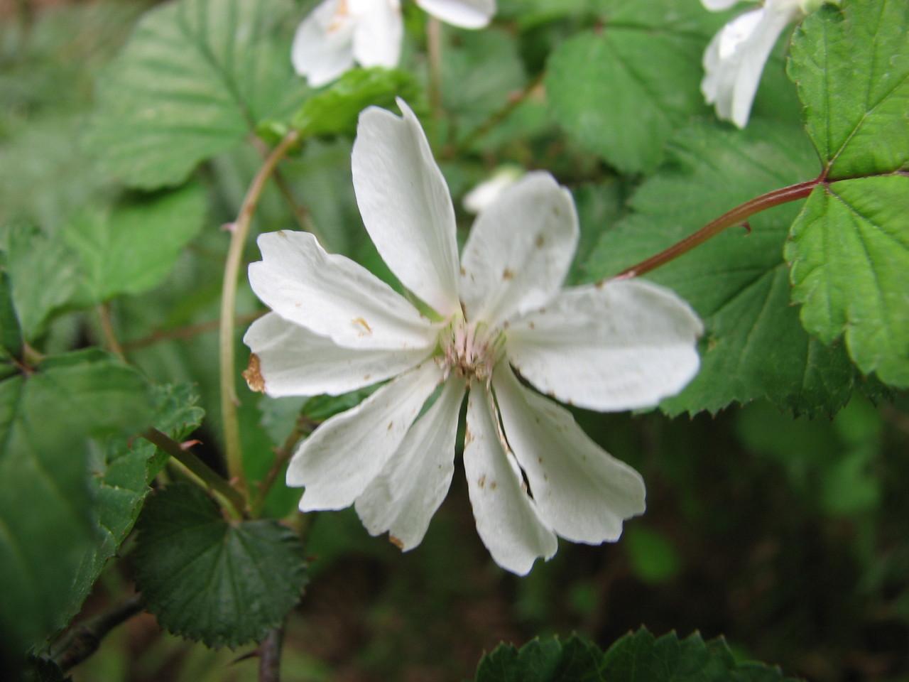 ニガイチゴ(バラ科) Rubus microphyllus