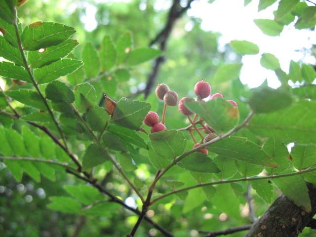 サンショウ(ミカン科) Zanthoxylum piperitum