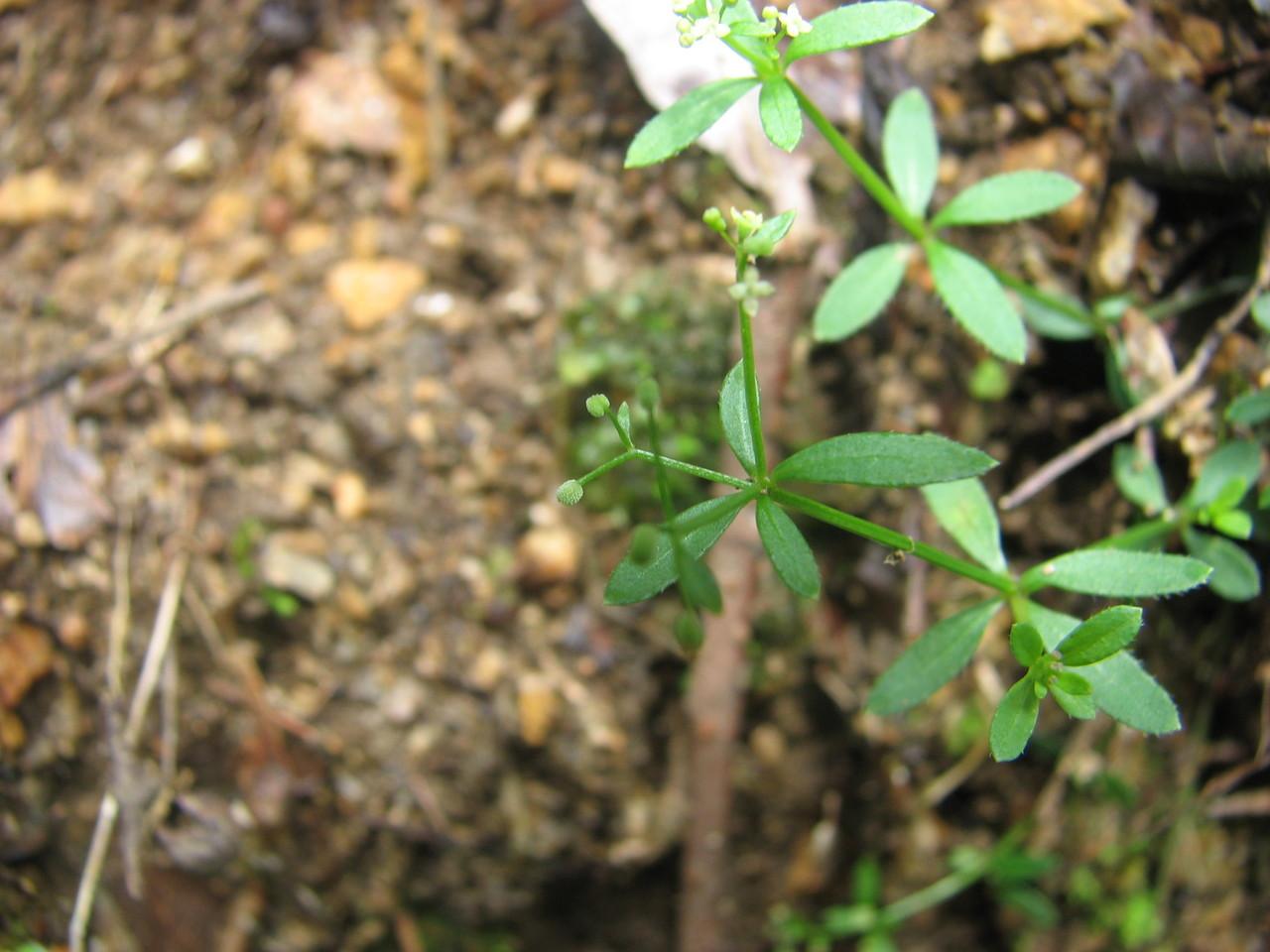 ホソバノヨツバムグラ(アカネ科) Galium trifidum var. brevipedunculatum