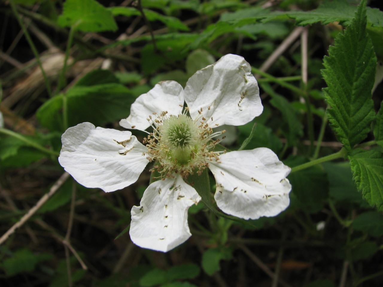クサイチゴ(バラ科) Rubus hirsutus