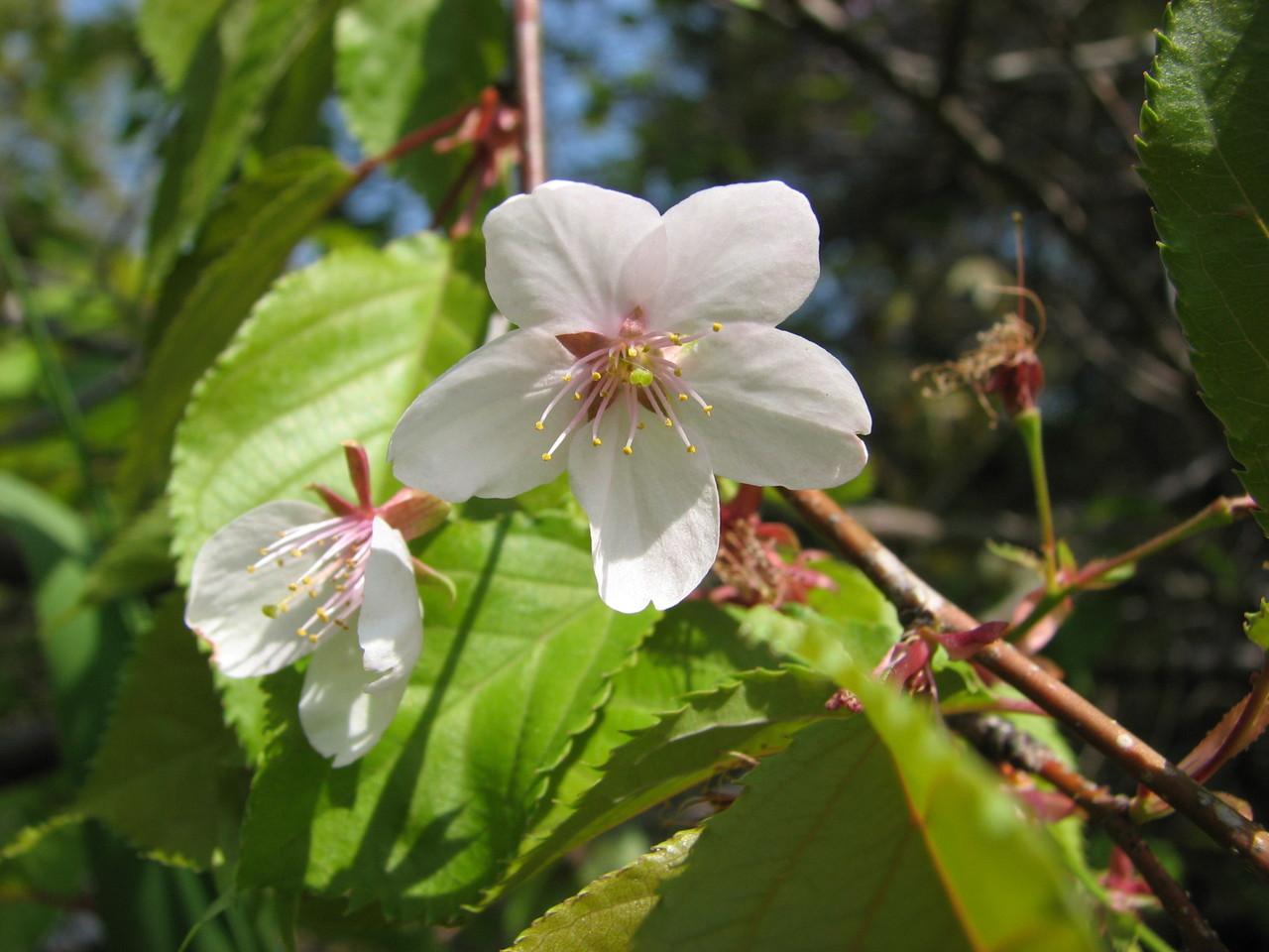 ヤマザクラ(バラ科) Prunus jamasakura