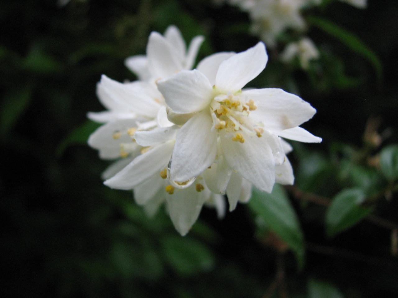 ウツギ(ユキノシタ科) Deutzia crenata