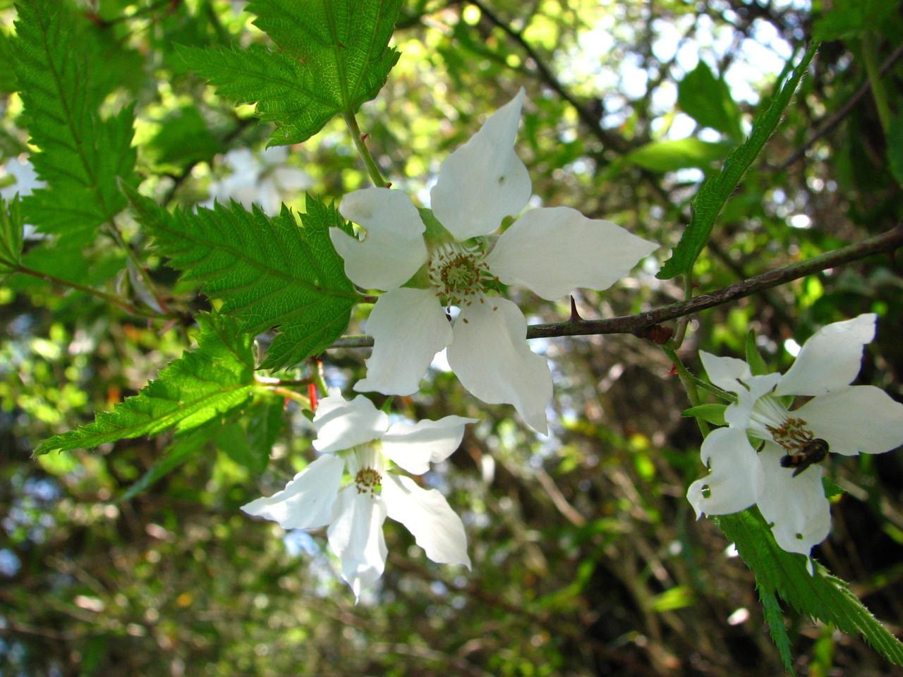 ナガバモミジイチゴ(バラ科) Rubus palmatus