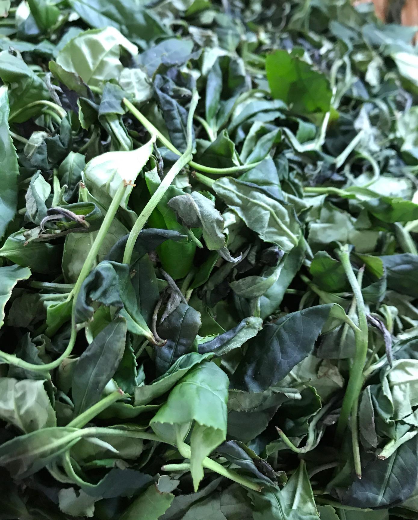 萎凋葉です。水分を一晩かけて40%ほど減らします。甘い香りがたってきます。