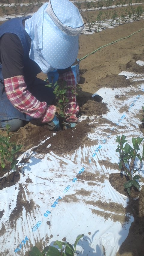 苗の向きにも注意して植えていきます。