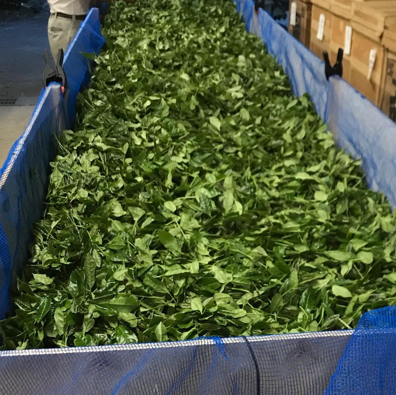 萎凋中の生葉です。下から風をあてながら葉の水分を丁寧に減らしていきます。紅茶を作るうえでとても大切な工程です。