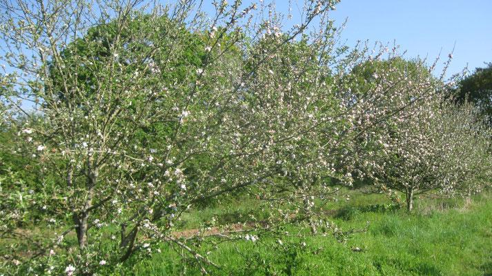 Atelier d'initiation à la taille d'été des arbres fruitiers Samedi 19 Juin