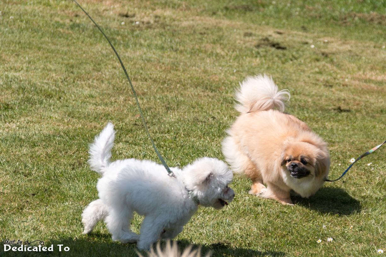 Izzy en bichon pupje