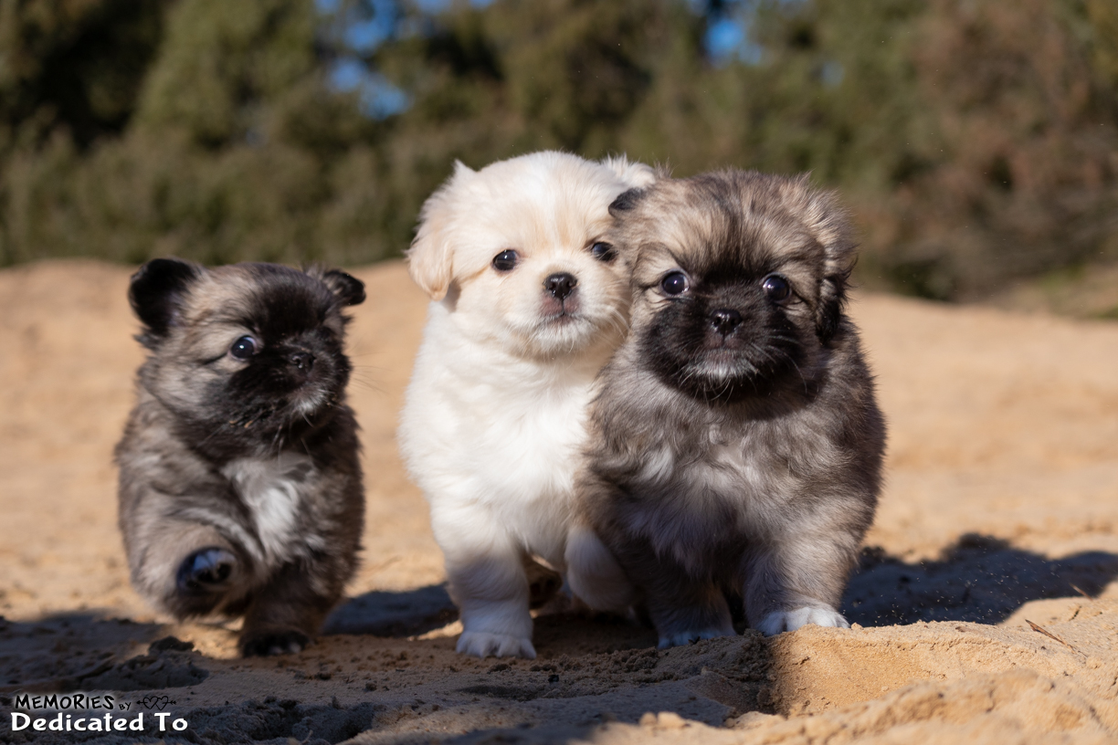 Tibetan Spaniel Puppies - Dedicated To    Dedicated To