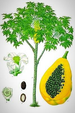 Illustration aus Köhler's Medizinal-Pflanzen