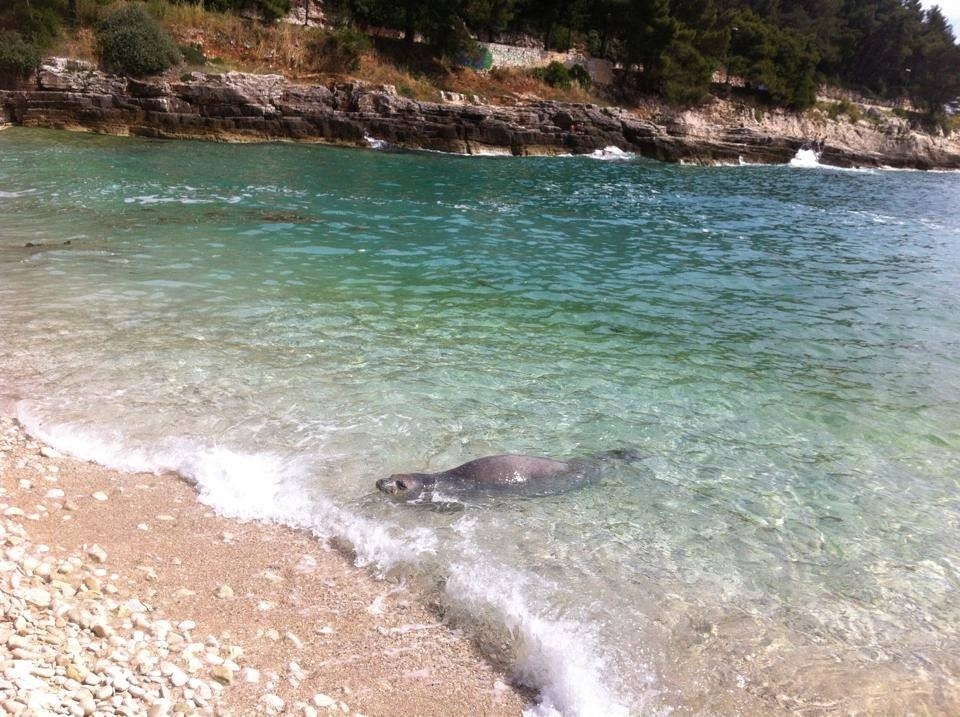 Adriana the monk seal of Pula at City  beach...