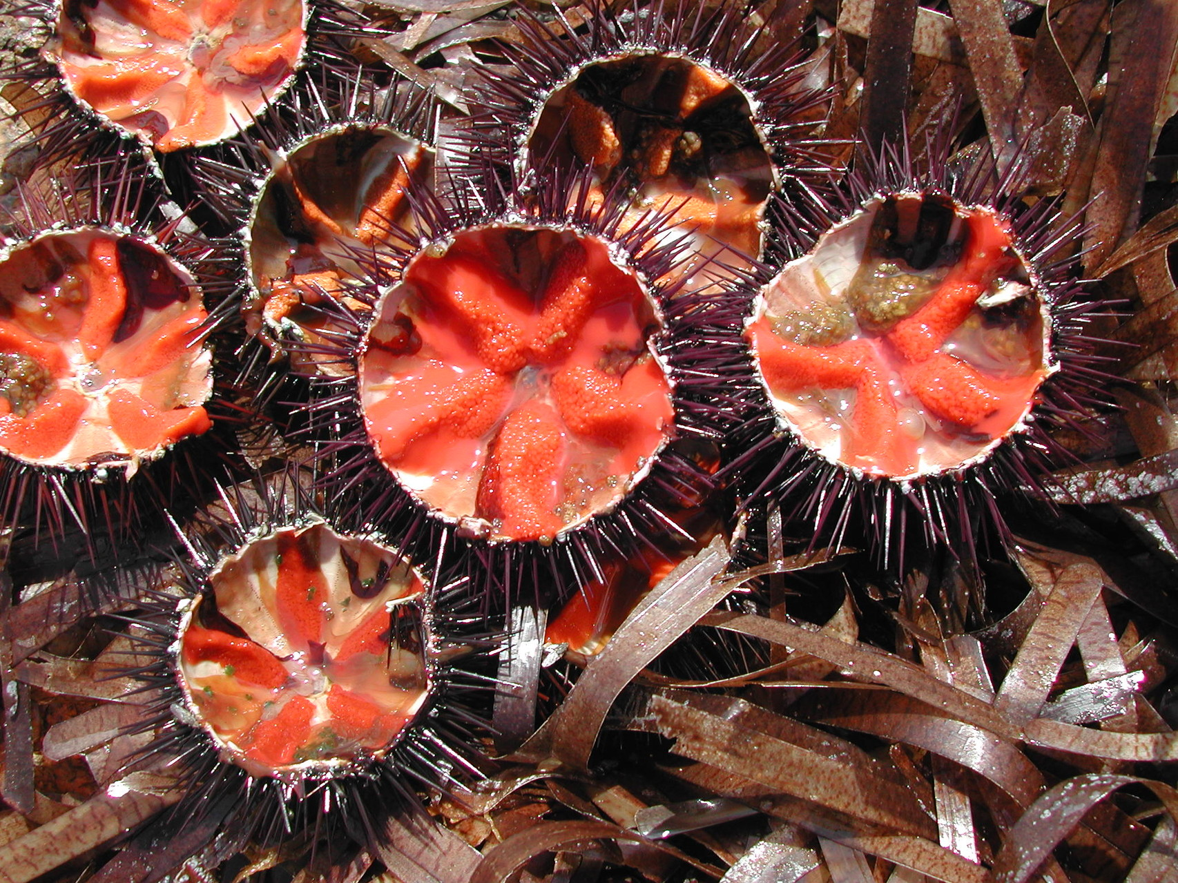 sea urchins are delicious!....and symbol of a very clean water...