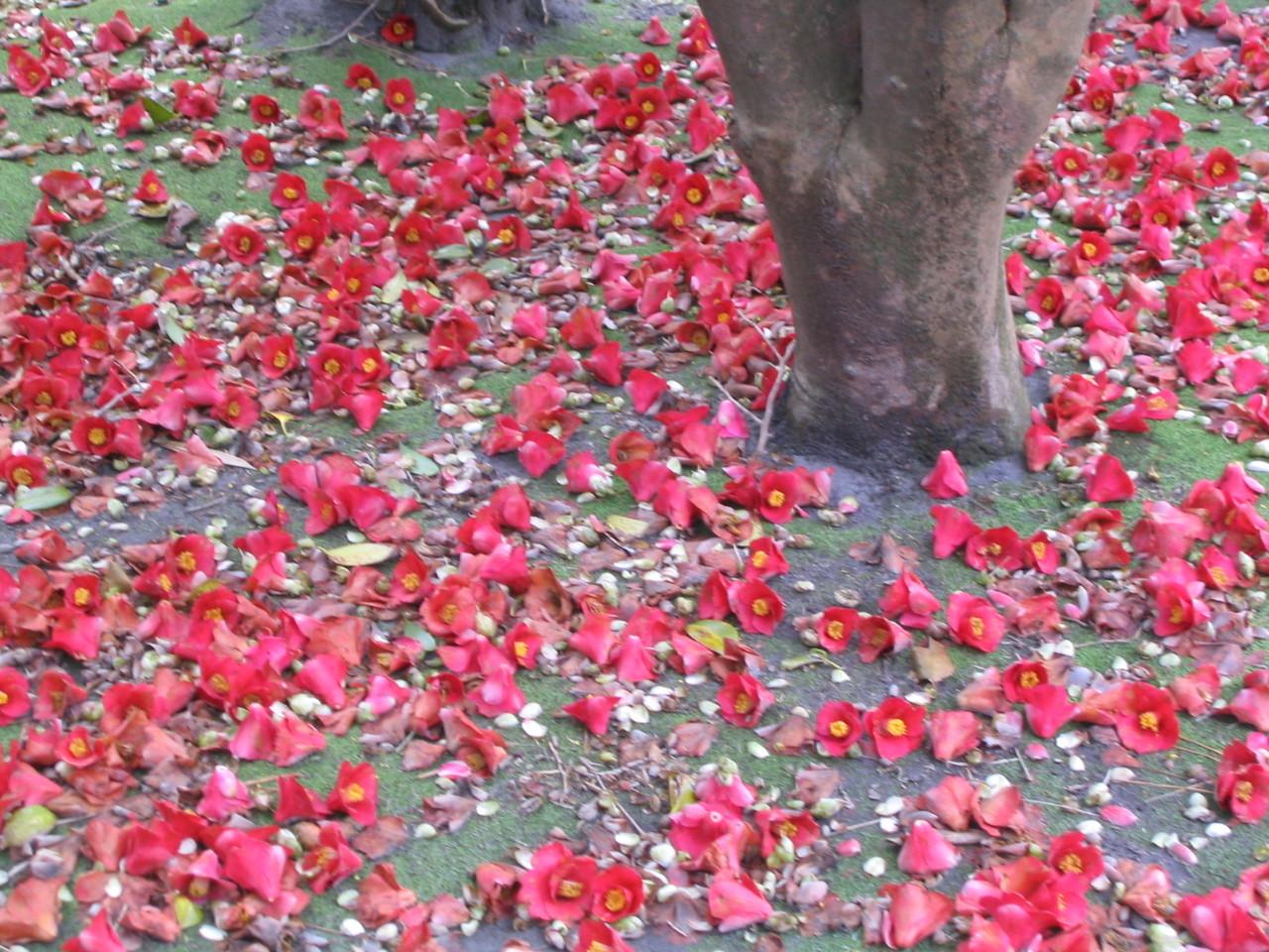 落ち椿のじゅうたん