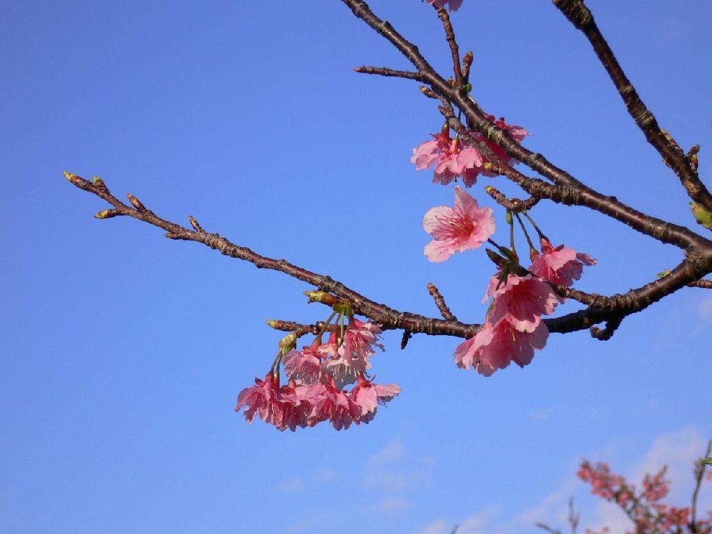 今帰仁の桜