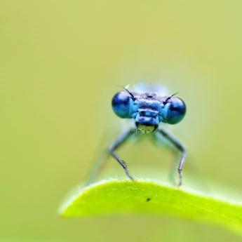 Libellenkopf mit Augen